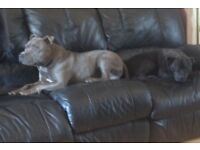 2 female staffy pups for sale