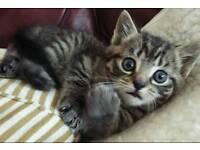 Bengal x maincoon kittens