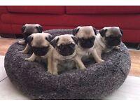 Stunning PUG PUPPIES Kennel club registered