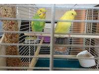 Two Beautiful young Budgies&Cage