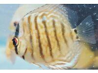 discus fish community tropical tank fish