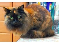 Beautiful Cat FREE Desexed SW19 ace Mouser Gentle Girl Good Vibes All accessories food etc