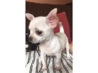 Beautiful white KC chihuahua puppy
