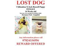 STOLEN - Chihuahua x Jack Russell, FEMALE, 14 WEEKS OLD ****BIG REWARD****