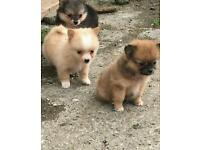 Pomeranian miniture
