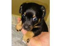 Miniature Jack Russell Pup black and Tan