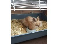 Mini lionhead rabbit 10 months old