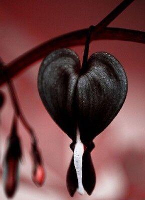 50 Very Rare Black Bleeding Heart Seeds Dicentra Spectabilis Shade Flower Garden