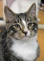 """Baby Male Cat - Domestic Short Hair-Tabby: """"Guess"""""""