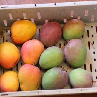 Indian Mango business for sale