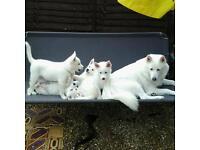 White huskies