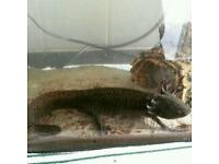Axlotl for sale REDUCED 100 THE LOT