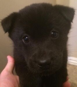 Cute border collie x lab puppy looking for a new home