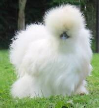 Adult Silkie Breeding Hens Clearance From $30 Nairne Mount Barker Area Preview