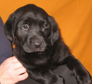 Black Lab Puppies - Females Only