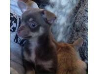 Kc tiny blue chihuahua boy
