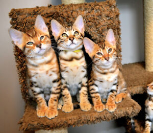 Gorgeous Bengal Kitten - Tricoloured Rosettes