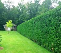 Taille de haies (de cèdre ou autre), arbres et arbustes