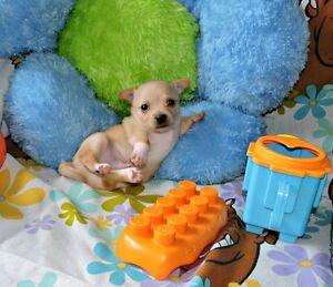 Chihuahua ❤ mâle crême❤ charmeur irresistible