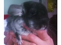 Beautiful Black Velvet Baby Chinchilla, Male 5 Months,for sale now TW13, London 6 zone