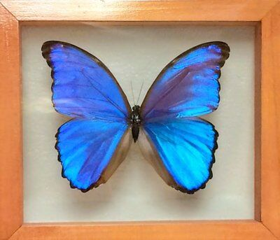Blue Morpho Didius  Double Glass Frame  Butterfly  Lepidoptera