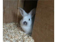 Baby Bunnies - Mini Lop Cross