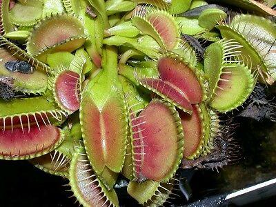 30 Semillas de Plantas Carnívoras(Dionaea Muscipula)