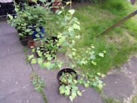 Small Birch Tree For Sale