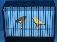 Lovely pair of canaries with or without brand new cage