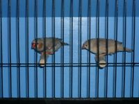 Beautiful pair of fawn finches with brand new cage