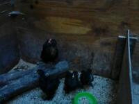 Pekin bantam chicks for sale