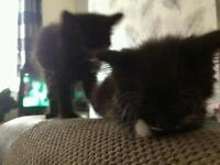 2 black kittens for sale 8 weeks old