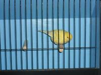 Beautiful singing male canary with or without new cage