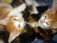 Kittens for sale ginger and white