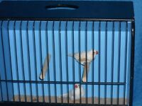 Nice pair of white zebra finches with or without brand new cage