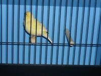 Beautiful female canary