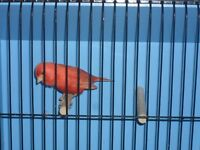 Singing red factor canary with or without brand new cage