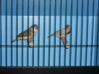 Lovely pair of finches with a brand new cage