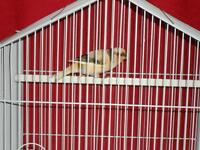 Beautiful singing male canary with brand new cage.