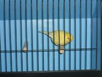 Singing male canary with or without brand new cage