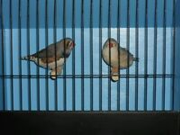 Large pair of exhibition zebra finch's with or without brand new cage