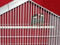 Pair of java finches with a brand new cage