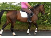Lovely 15.2hh Mare 11yo