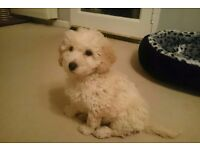 Georgeous little cockapoo for sale