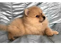Two 20 week old Pomeranian puppies