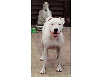 Staffordshire BullTerrier For Sale