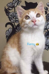 """Baby Male Cat - Domestic Short Hair: """"Kenny"""""""