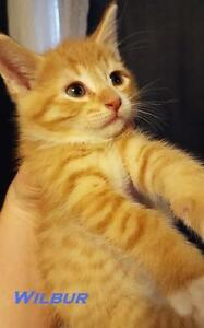 Baby Male  - Domestic Short Hair-Tabby - Orange