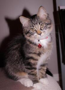 "Baby Male Cat - Maine Coon-Domestic Medium Hair: ""Lorenzo"""