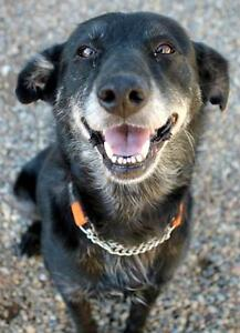 Senior Female  - Labrador Retriever-Border Collie